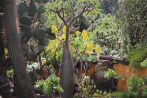 A bottle tree, Jardin Botanico Canario