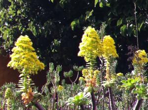 Canarian flowers, Jardin Botanico Canario