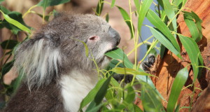 A koala at Healesville Sanctuary