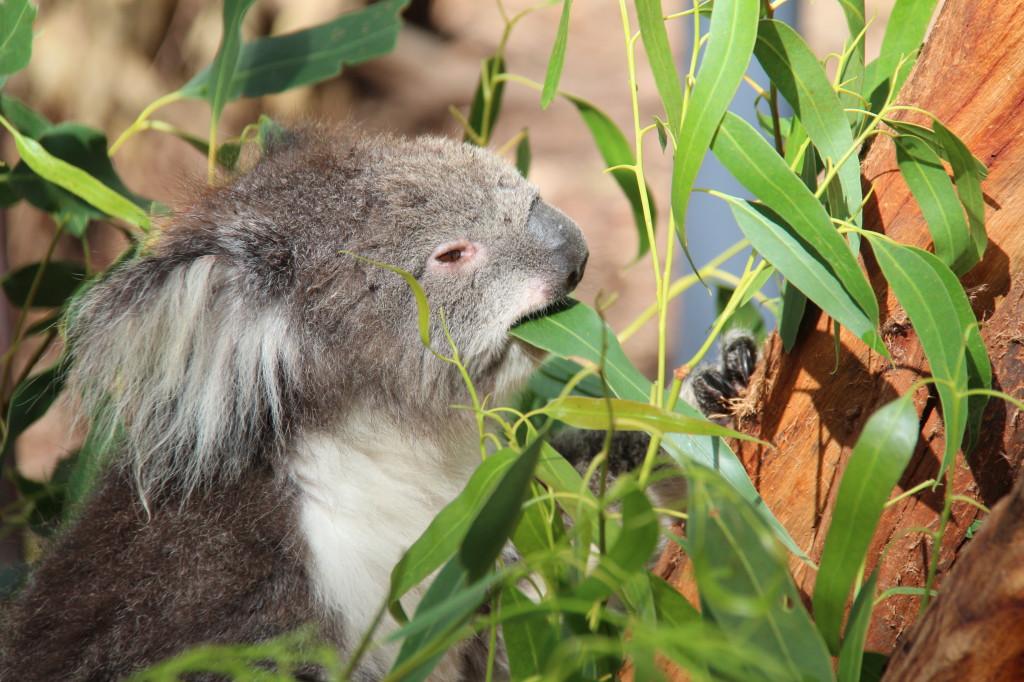 A koala at Healesville Sanctuary, Yarra Valley