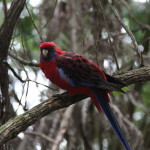A rosella at Grants Picnic Ground
