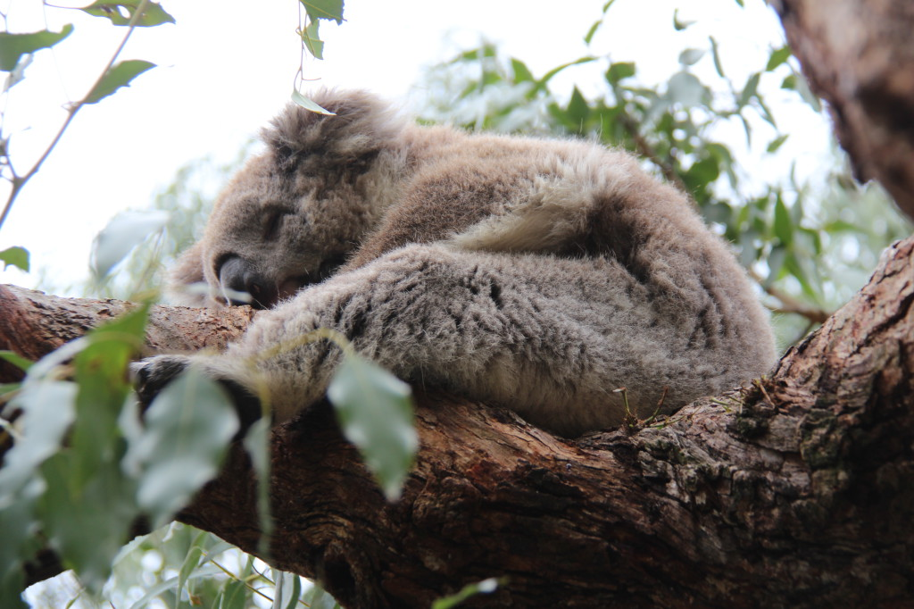 Koala Conservation Centre, Phillip Island self drive trip