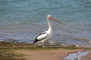 A pelican on Phillip Island