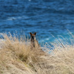 A wallaby on Phillip Island