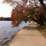 Cherry trees, Tidal Basin, Washington DC