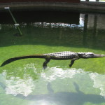A gator in the Miccosukee Village, Florida