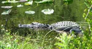 Alligator in Shark Valley