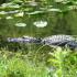 Alligator in Shark Valley