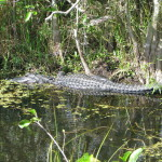 Alligator in Shark Valley, Everglades National Park, Florida