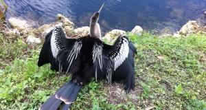 Anhinga bird, the Everglades