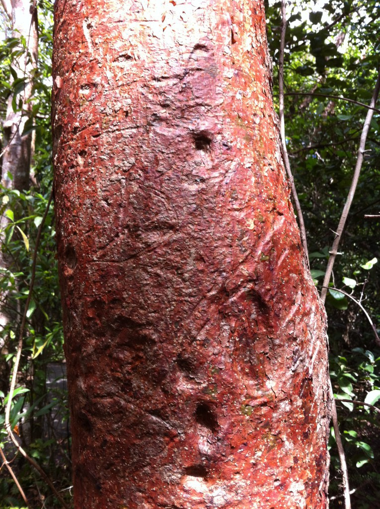 A gumbo limbo tree, the Everglades