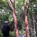 Gumbo limbo trees, the Everglades
