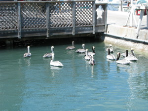 Pelicans, Harbor Walk, Key West