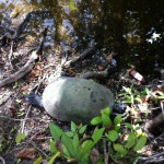 Turtle in Shark Valley, Everglades, Florida