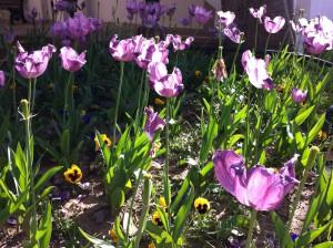Tulips, Shopping Street, Kemer
