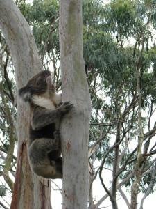 A koala, Cape Otway, Great Ocean Road