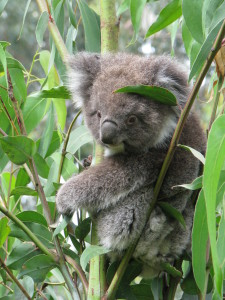 A koala, Kennett River, Great Ocean Road