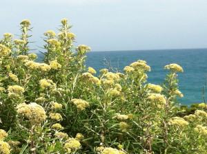 Flowers on the Great Ocean Road