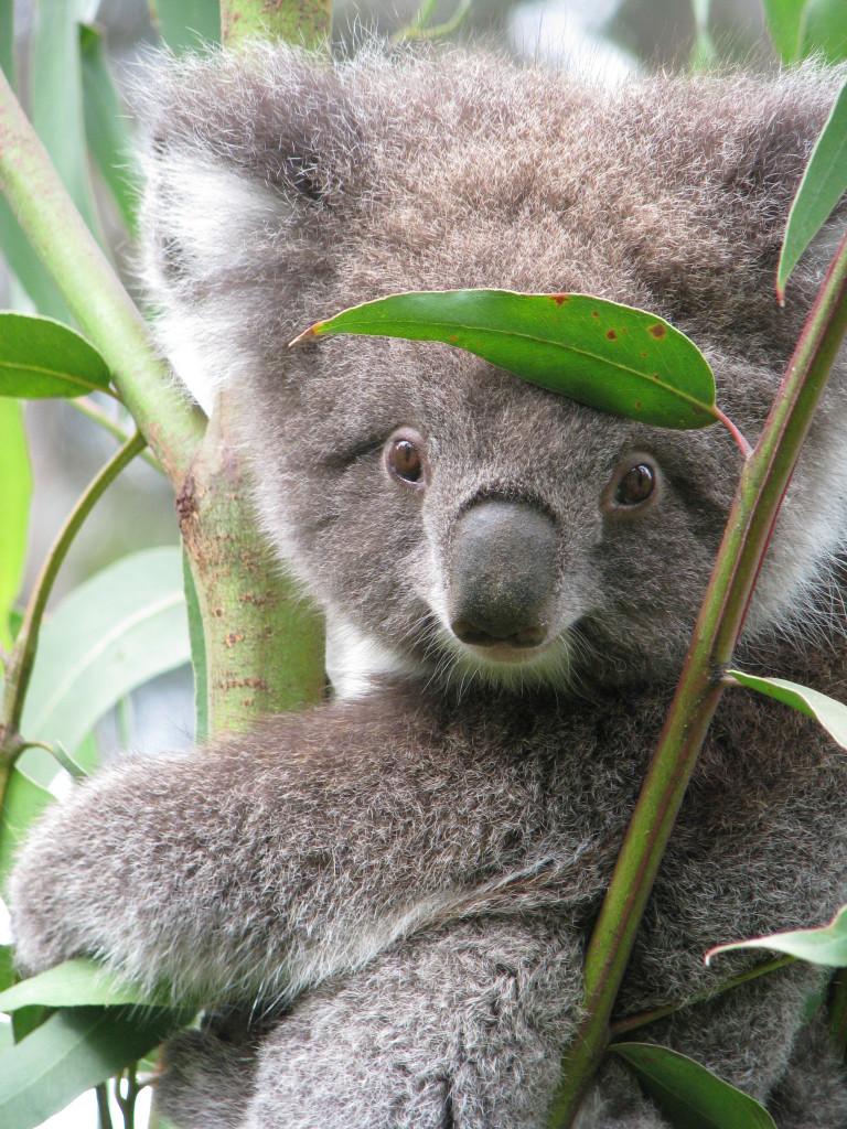 A Kennett River koala
