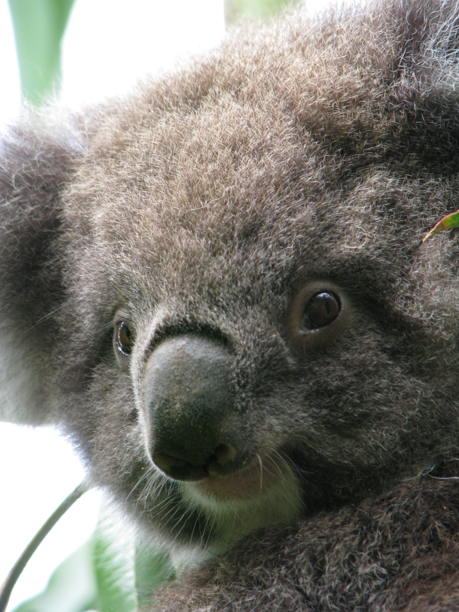 kennett river koala great ocean road routes and trips. Black Bedroom Furniture Sets. Home Design Ideas