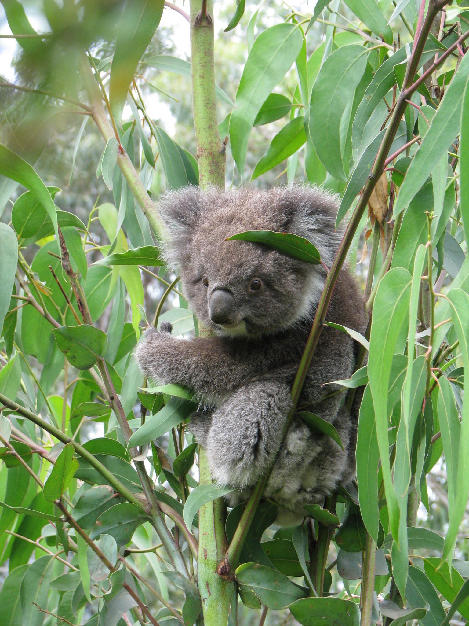 kennett river koala routes and trips. Black Bedroom Furniture Sets. Home Design Ideas