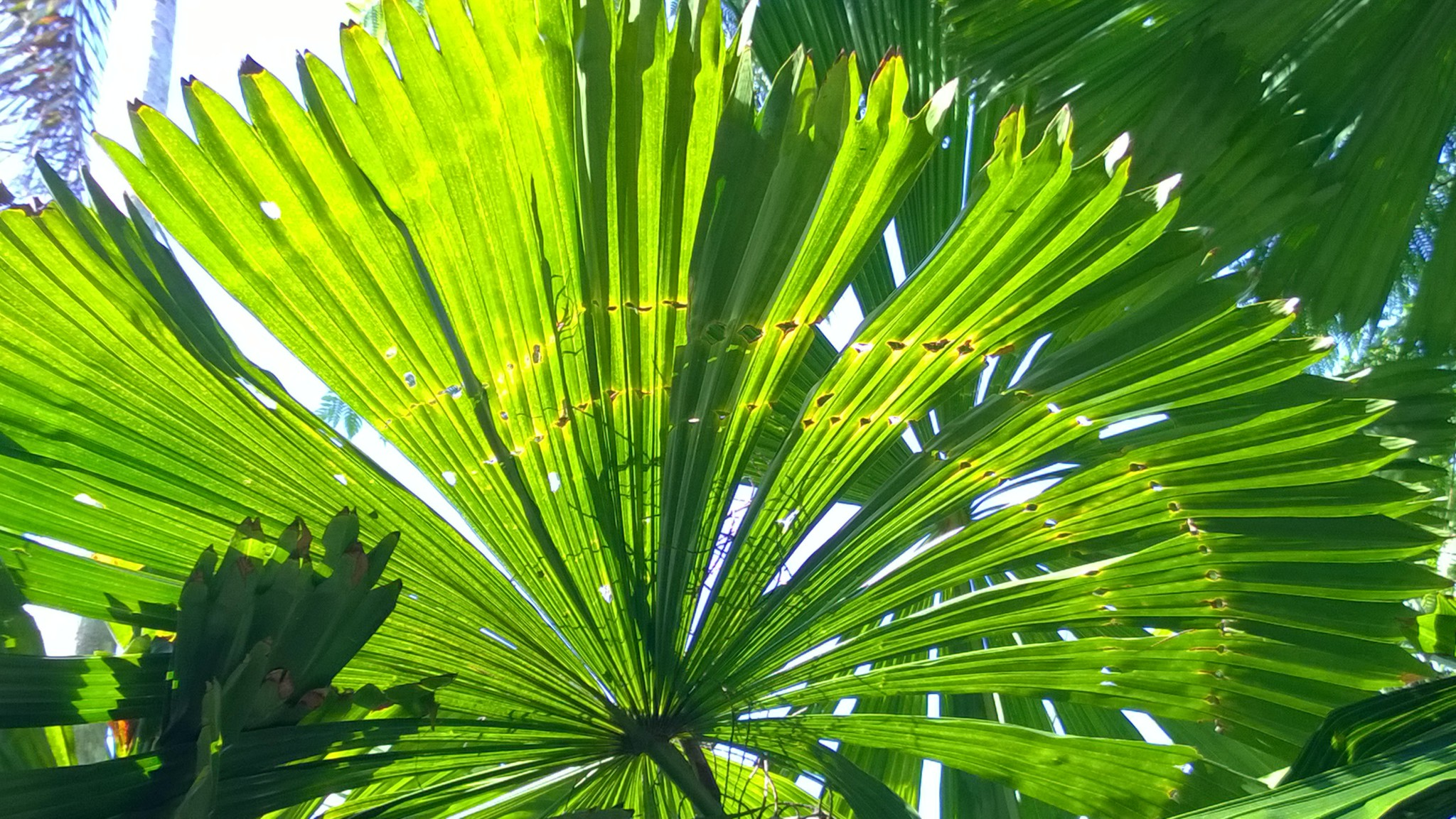 fan palm daintree rainforest routes and trips