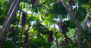 Fan palms, Daintree Rainforest