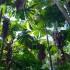 Fan palms, Daintree Rainforest