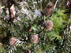 Banksia in Royal Botanic Gardens, Melbourne