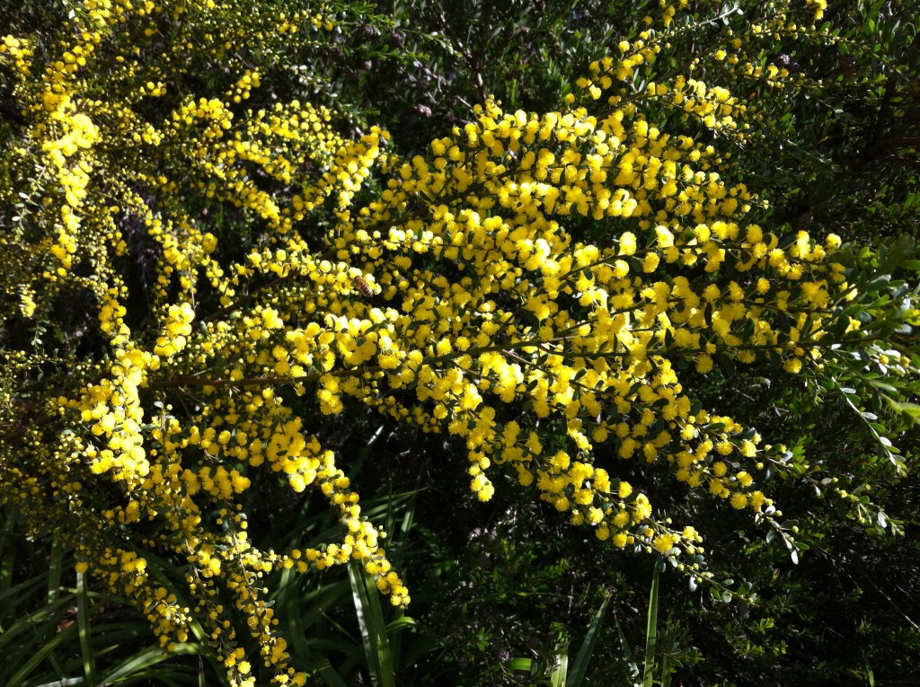 Wattle flowering in Royal Botanic Gardens, Melbourne