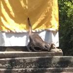 A cat at Taman Ayun, Bali