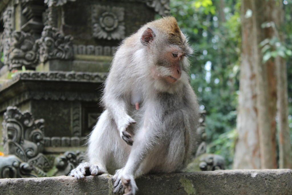 Monkey in Sangeh Monkey Forest, Day Trip to West Bali