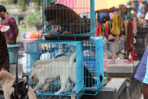 Bali dogs on sale