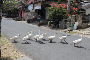 Bali ducks crossing the road
