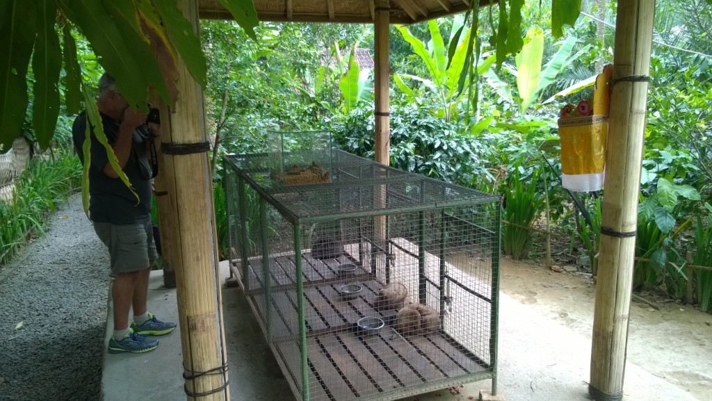 Bali luwaks