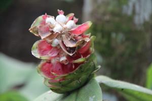 Bali plant in bloom
