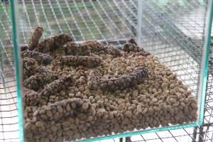 Balinese luwak coffee beans