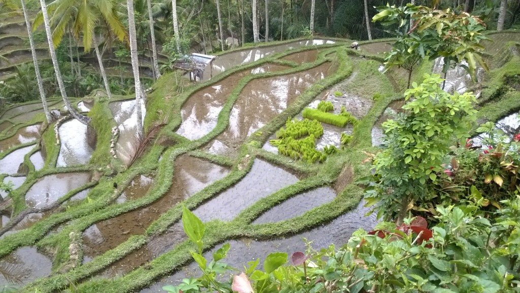 Tegallalang rice terraces, central Bali day trip