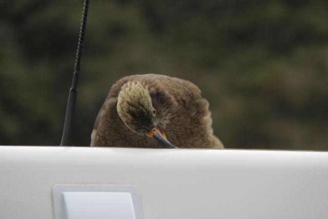 Christchurch to Greymouth kea bird
