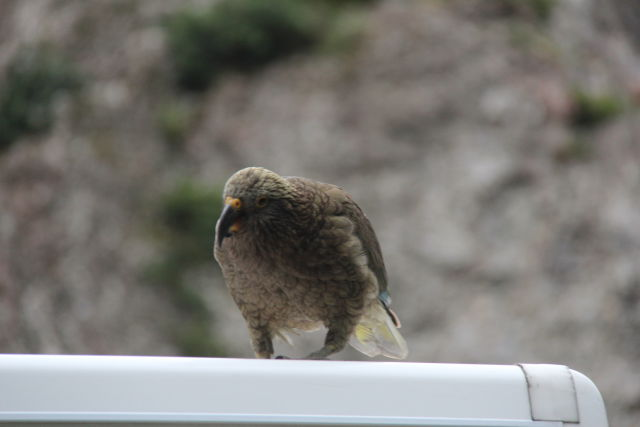 Christchurch to Greymouth kea on car roof