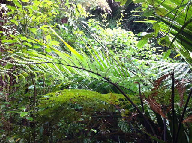 Ferns in Punakaiki rainforest
