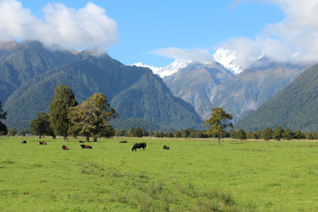 Lake Matheson cattle