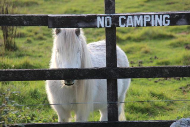 A New Zealand pony