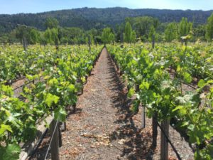 Clos Pegase Vineyards