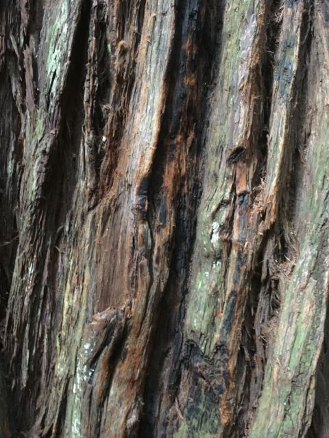Giant redwood bark
