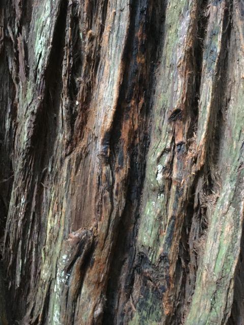 Giant redwood bark