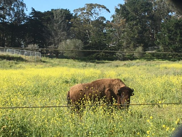 Golden Gate Park buffalo