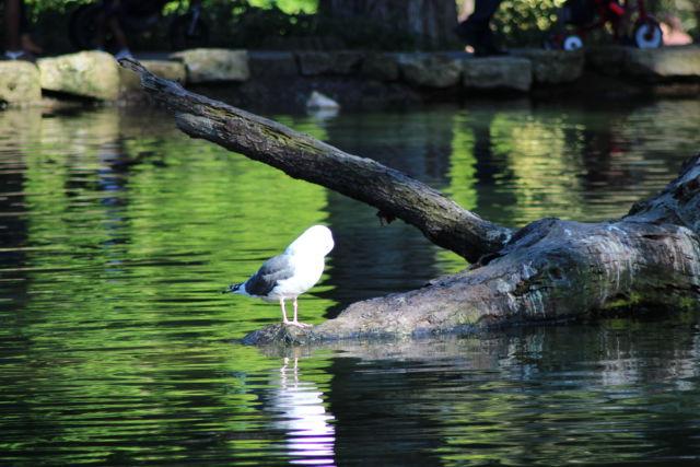 Golden Gate Park seagull