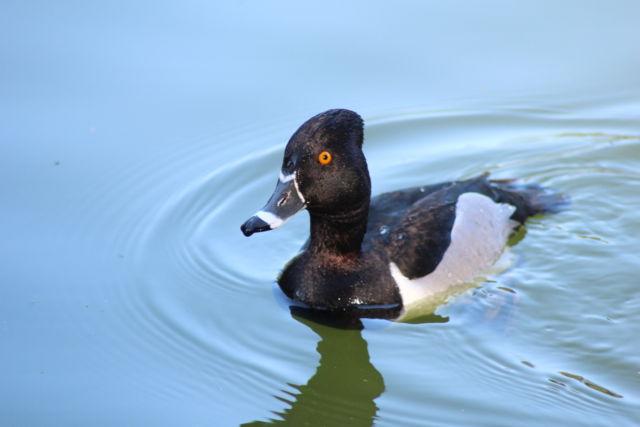 Golden Gate Park water bird