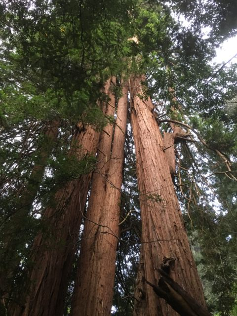 Day trip to Muir Woods redwood forest